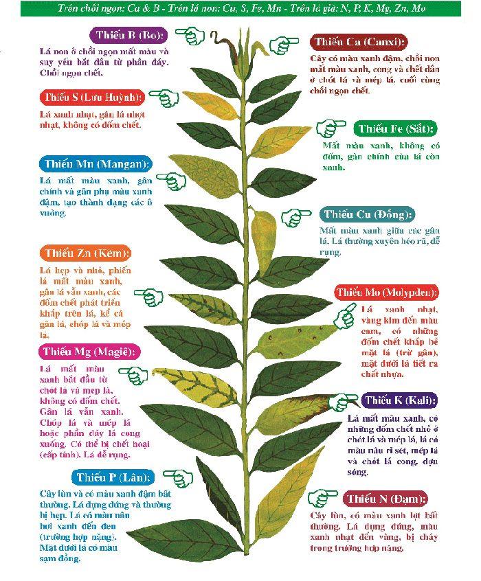 Lan bị vàng lá do thiếu chất dinh dưỡng