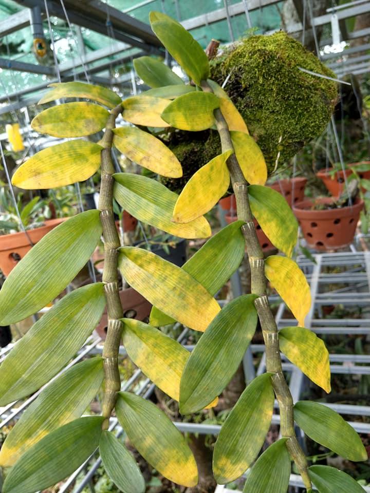 Ánh nắng trực tiếp làm cây lan bị vàng lá và cháy lá.