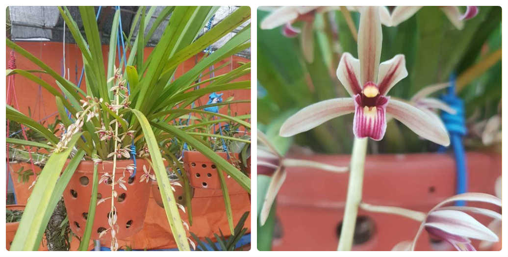 Lan kiếm rừng lô hội - Cymbidium aloifolium (L.) Sw