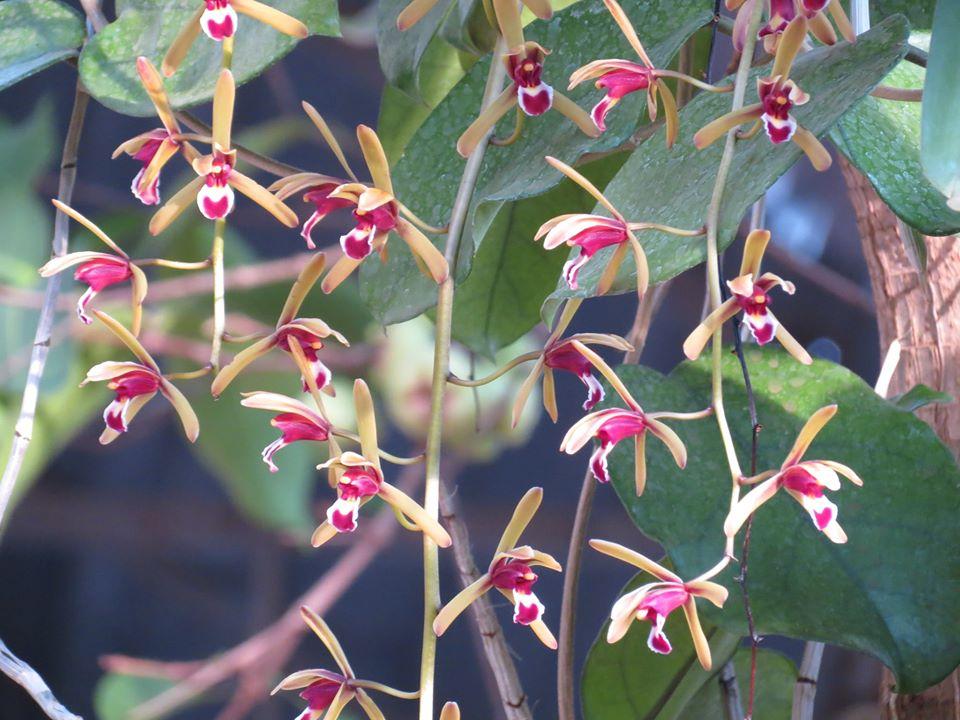 Lan kiếm tiên vũ – Cymbidium. Finlaysonianum