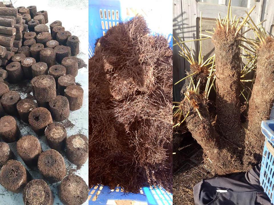 cây dớn đá dùng để trồng lan