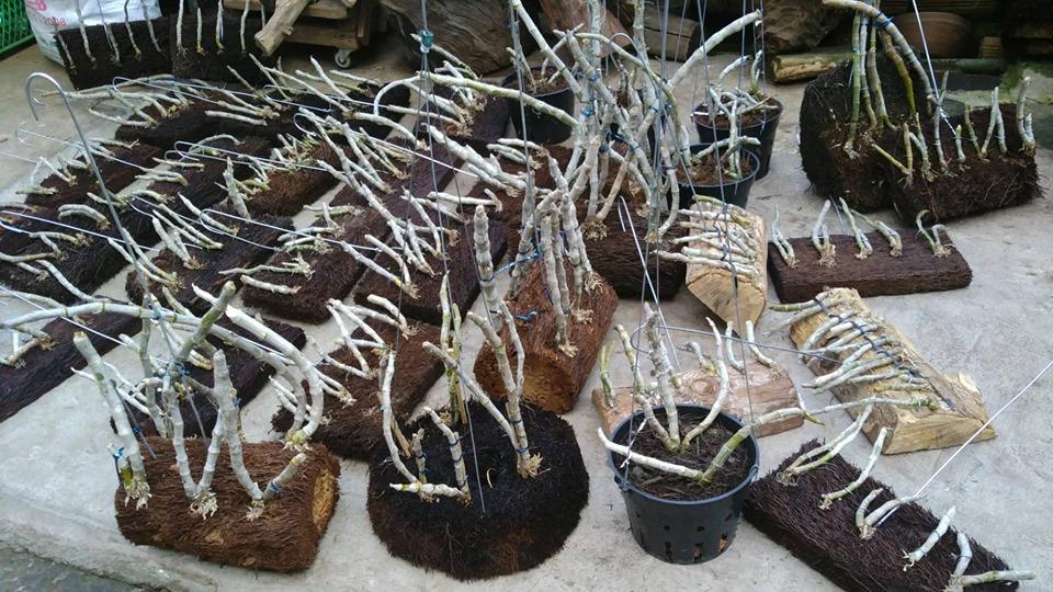 những cây trầm tìm ghép giá thể dớn