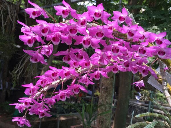 cây trầm tím nở hoa đẹp nhất