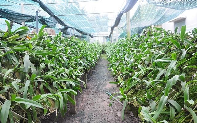 Cách trồng lan Ngọc điểm rừng rất đơn giản