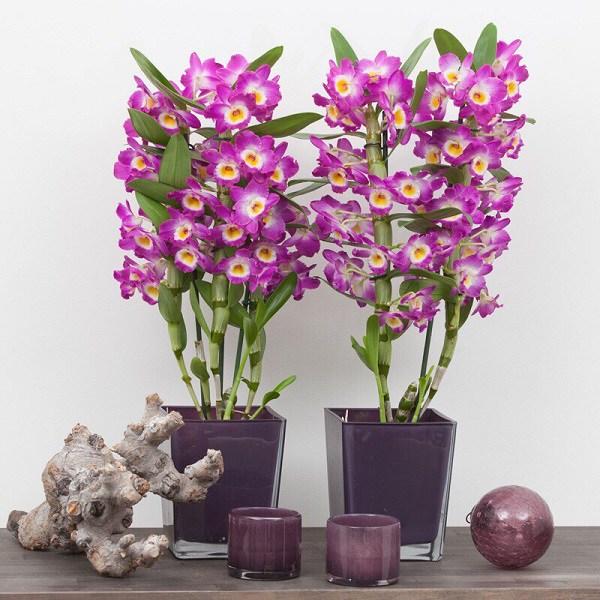 Cách trồng và chăm sóc hoa lan dendro cho hoa nở đẹp