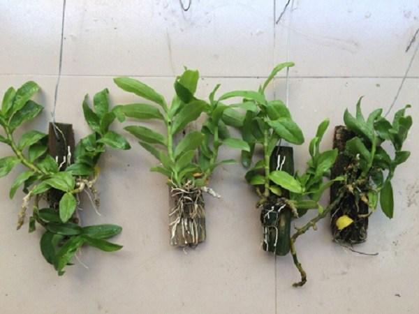 Cách trồng lan trầm tím vào chậu và chăm sóc đúng cách